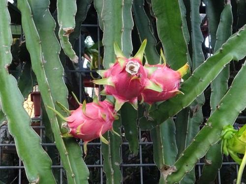 サボテンから咲くドラゴンフルーツ