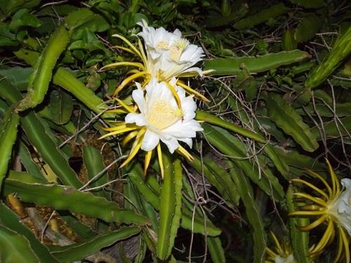 一夜限り咲くドラゴンフルーツの花